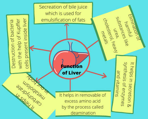 functions of liver
